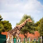 Giraffe, Mallorca