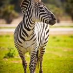 Zebra, Safari Zoo Mallorca