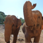 Elefant, Zoo Mallorca