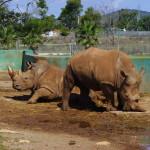 Nashörner, Safari Zoo Mallorca