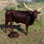 Afrikanische Stiere, Safari Zoo Mallorca