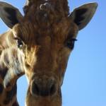 Giraffen, Safari Zoo Mallorca